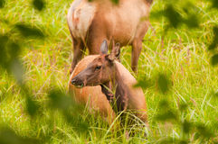 Elk Feeding In A Hidden Glen Stock Photo