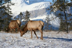Elk Feeding in Jasper National Park Stock Photography