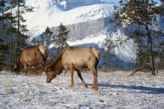 Elk Feeding in Jasper National Park stock photography