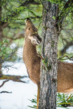 Elk feeding in winter Royalty Free Stock Photography