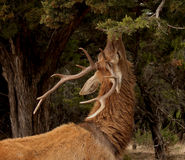 Red Deer feeding Royalty Free Stock Images
