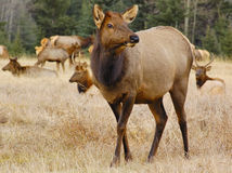 Elk (female) with flock Royalty Free Stock Photo