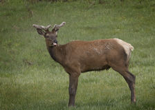 Elk. Female Elk showing her displeasure by sticking  out her tongue at me.  Carol Gray Royalty Free Stock Images