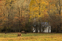 Elk in a Field Stock Photo