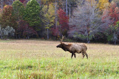 Elk in the Field Royalty Free Stock Image