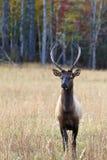 Elk in the Field Stock Photos
