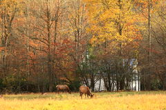 Elk in the Field Royalty Free Stock Photos