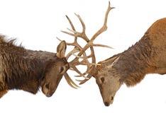 Elk fight Royalty Free Stock Photos