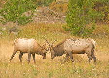 Elk Fighting Stock Images
