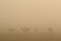 Elk in fog Stock Images