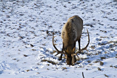 Elk foraging for food Stock Images