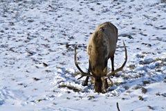 Elk foraging for food stock images