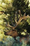 Elk in forest Stock Photography