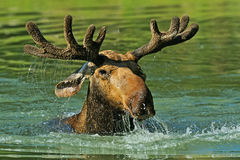 Elk Forest Royalty Free Stock Photography