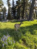 Elk in Forest near Flowers royalty free stock photo