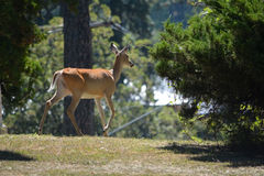 Elk in the forest Stock Photography