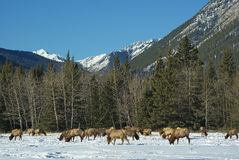 Elk in front of the Canadian Rockies. Alberta, Canada royalty free stock photos