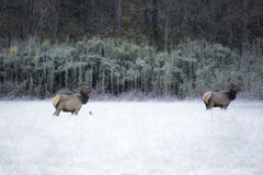 Elk and Frost Royalty Free Stock Images