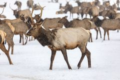 Elk gathering at the Oak Creek Wildlife Area Feeding Station in Naches, WA stock images