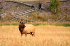 Elk in Golden Meadow Stock Photography