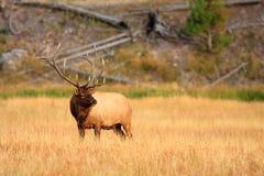 Elk in Golden Meadow Stock Photography