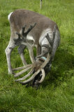 Elk at the grassland Royalty Free Stock Image