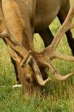 Elk grazing. Bull elk grazing in a field Royalty Free Stock Photo