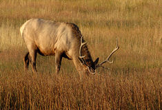 Elk Grazing Stock Photography