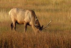 Elk Grazing. Under soft morning light stock photography