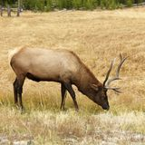 Elk grazing Royalty Free Stock Images