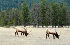 Elk grazing Royalty Free Stock Image