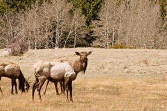 Elk grazing. A view of a small herd of elk grazing in an mountainside opening or clearing in early spring Royalty Free Stock Photo