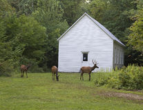 Elk Grazing Around the Historic Beech Grove School Built in 1903 Royalty Free Stock Image