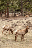 Elk grazing in field Royalty Free Stock Images