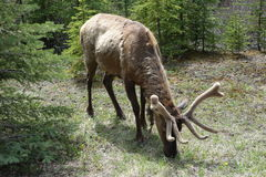 An elk grazing in a forest. Stock Photography