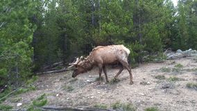 Elk grazing in Grand Tetons Royalty Free Stock Photography