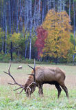 Elk Grazing on Grass Stock Photo