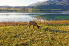 An elk grazing beside a lake in the rocky mountains Royalty Free Stock Photo