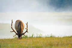 Elk Grazing on Lush Summer Grass Stock Image