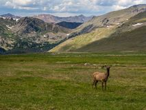 Elk Grazing in Mountain Meadow, Rocky Mountain National Park stock photo
