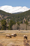 Elk grazing in mountains. A view of several elk grazing on a Colorado mountainside clearing in early spring Royalty Free Stock Photography
