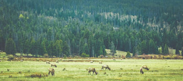 Elk Grazing Royalty Free Stock Photos