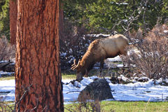 Elk Grazing in the Rocky Mountains Stock Images