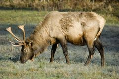 Elk, Great Smoky Mountains Stock Photos