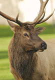 Elk on Green Pasture Royalty Free Stock Photo
