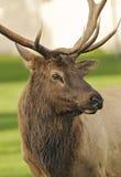 Elk on Green Pasture. S Portrait royalty free stock photo