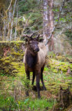 Elk in the habitat Royalty Free Stock Images