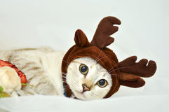 Elk hat kitten Royalty Free Stock Photo