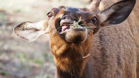 Elk having a munch. On the south rim of the grand canyon royalty free stock photo