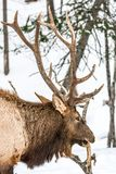 Elk Having a Quick Snack. And rattling during the rut period Stock Photo